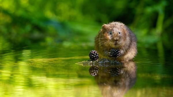Животное, ежевика, отражение, зеленый, вода, ягода, Водяная полёвка, Водяная крыса, заставки, картинки