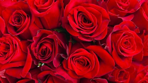 Фоны красных роз большого количества скачать на рабочий стол
