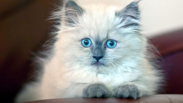 Котенок, пушистый, голубоглазый, милый, картинки, обои HD, скачать