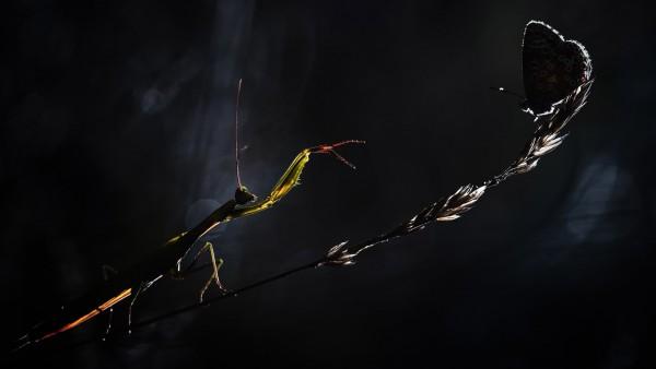 Макро фотография богомола и бабочки