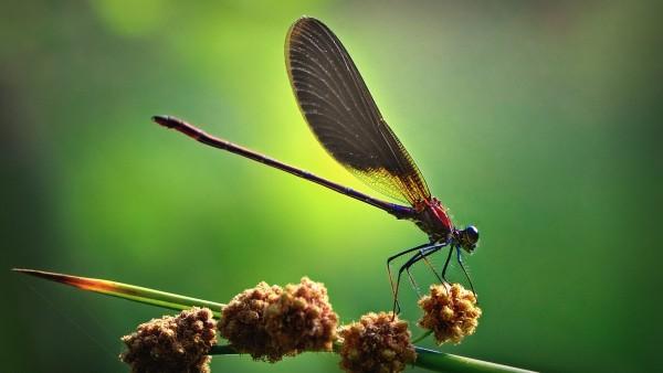 Широкоформатное изображение стрекозы