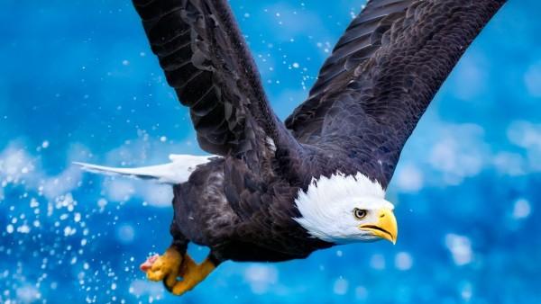 Широкоформатная заставка орла в полете