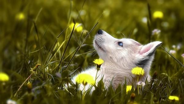1920x1080, собака хаски, трава, цветок, настроения, изображения, голубые глаза, HD обои
