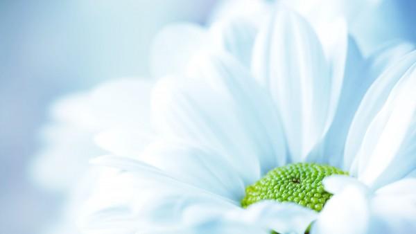 Макро изображение высокого разрешения белой, нежной ромашки