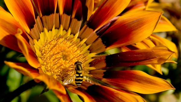 Макро изображение пчелки на цветке
