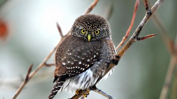 Фото милой и пушистой совы