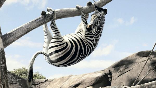 Зебра на дереве, веселые животные, смешные обои, прикольные обои, юмор, HD