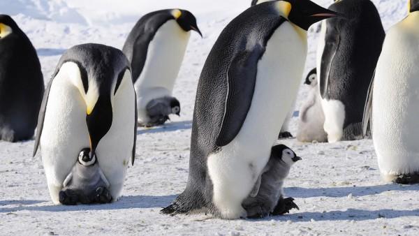 Императорские пингвины, Антарктида, Птицы, Детеныши, Снег, HD, Фон