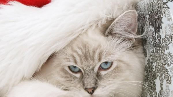 Кот, морда, пушистый, шляпа, Санта-Клаус, новый год, праздник, обои