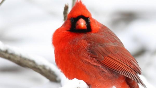 Кардинал Птица, красные перья, деревья, снег, зимняя стужа, бесплатно, картинки