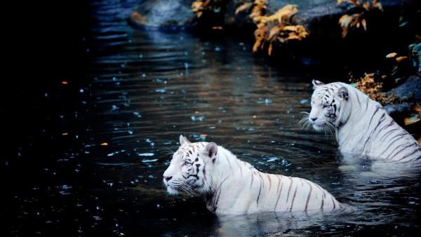 Замечательные белые тигры фото