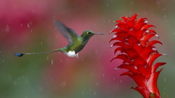 Животные, колибри, птица, фотографии, цветок, обои, картинки