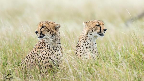 Скачать, кошки, гепарды, трава, животные, охота, фото