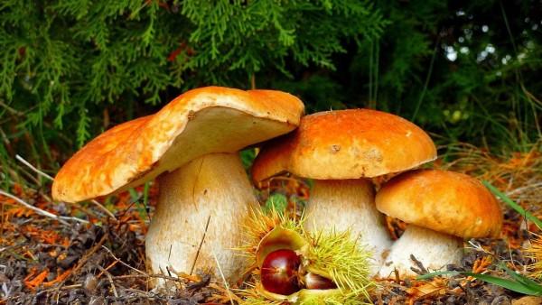 Лесные грибы hd обои