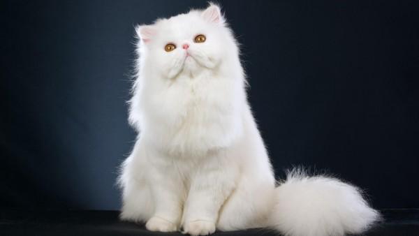 Скачать Белый персидский кот котенок бесплатно Фон