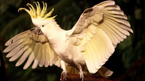 Какаду Птица