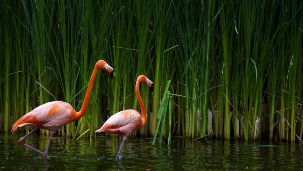 Фламинго фото высокого качества