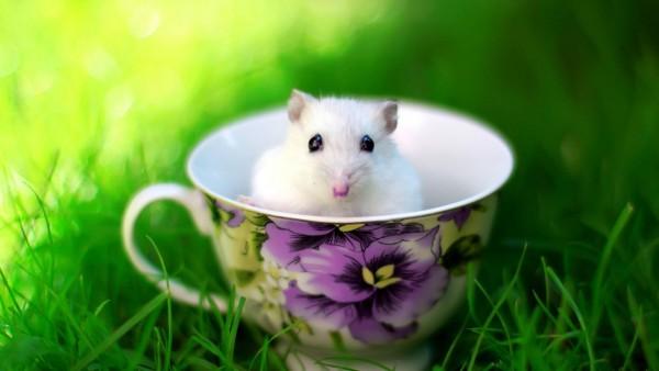 Мышь в чашке