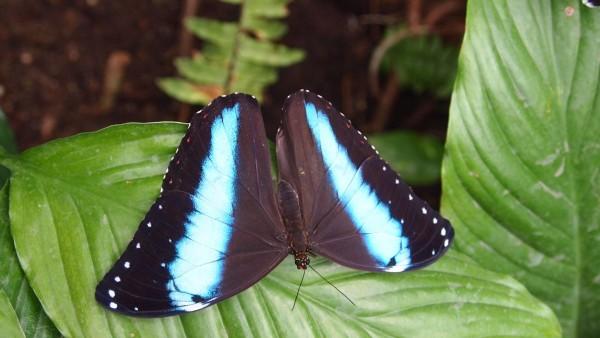черная бабочка с голубыми полосами