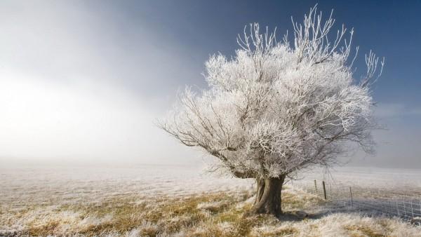 морозное дерево
