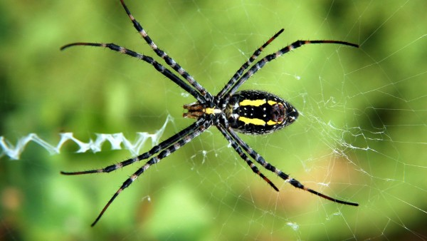 Широкий паук