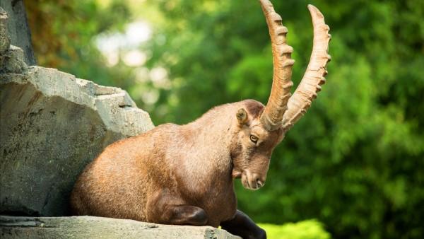 Ибекс, альпийский козёл, рога