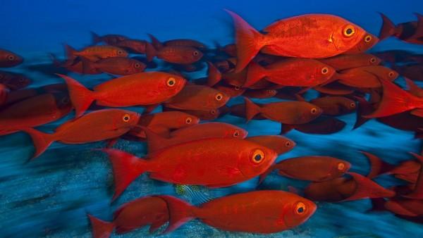Животные, рыбы, тропический красный, цвет, глаз, подводное море, океан