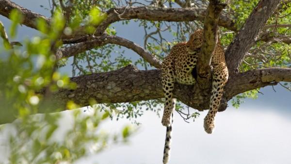 Ленивый леопард на дереве