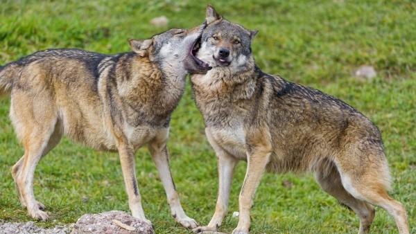 волки обнимаются