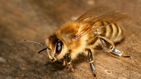 пчелі картинки
