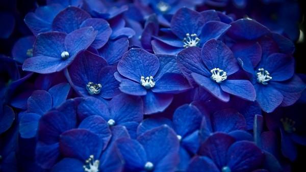 blue hortensia, синие гортензии, гортензия, цветок