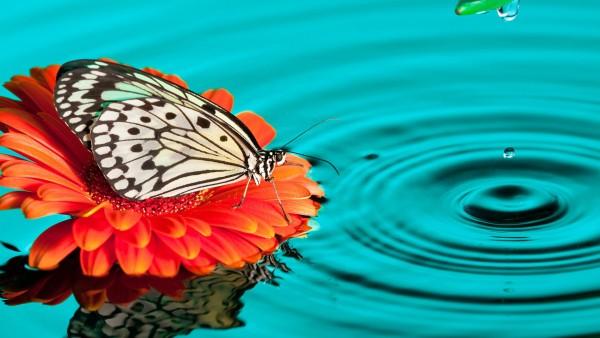 бабочка, капли, цветок