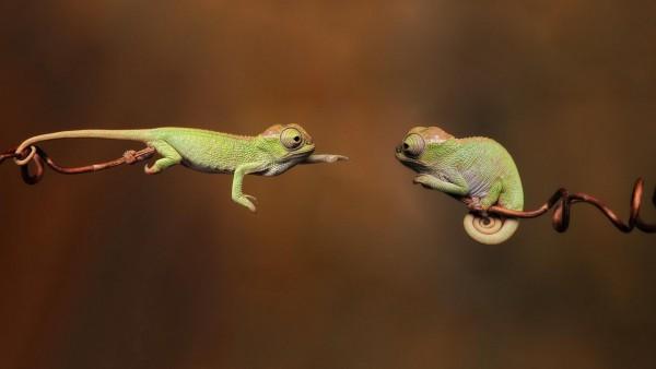 не могут связаться с друг другом хамелеон