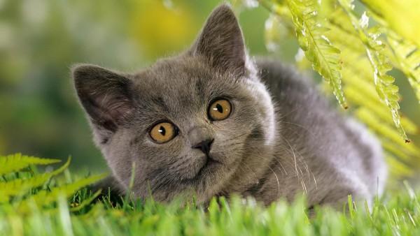 Серая кошка на траве картинки