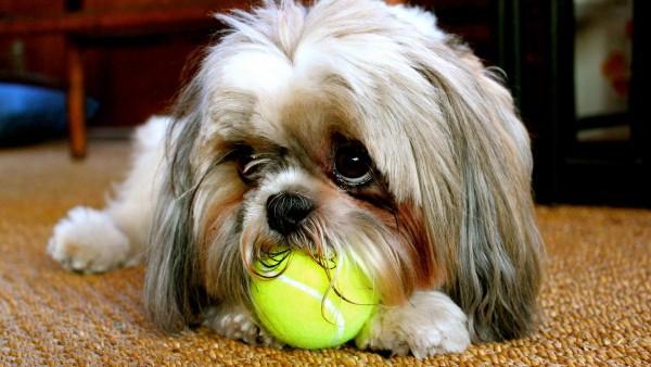 лохматая собачка жует теннисный мяч