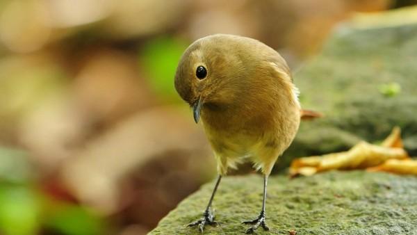 малиновка птичка широкоформатные обои