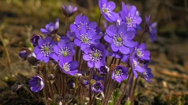 фиолетовые цветочки широкоформатные обои