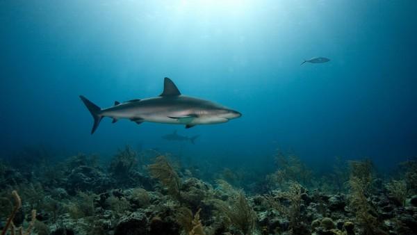 Coral Predators Shark Sea Underwater HD Background