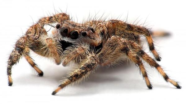 creepy tarantula free wallpaper desktop