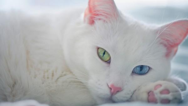 белый кот зеленые голубые глаза
