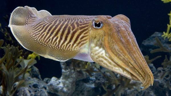 каракатицы рыба под водой океана