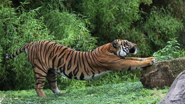 тигр, потягивая хищник трава обои на рабочий стол