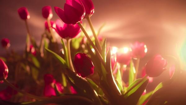 тюльпаны солнце на рабочий стол картинки