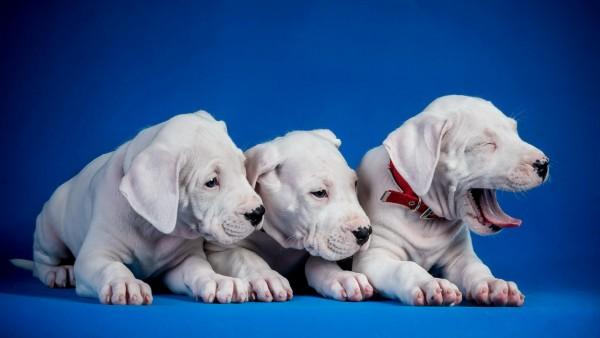 Собаки щенки трио картинки