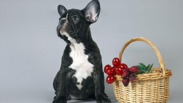 щенок французского бульдога картинки