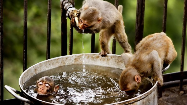веселые обезьяны в ведре глупо купаются обои hd