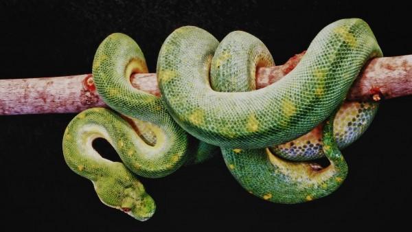 зеленая змея на ветке дерева