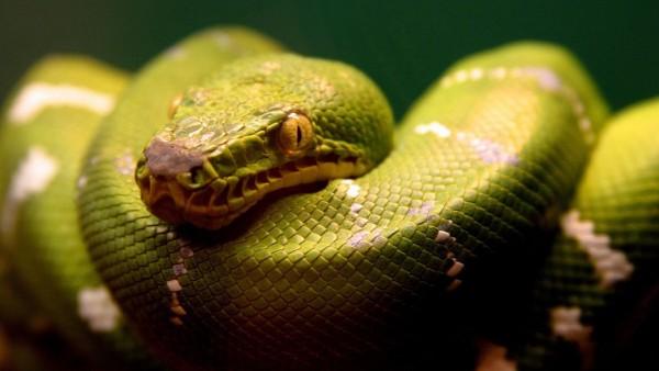 HD Зеленая змея