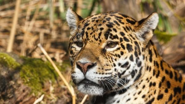 Ягуар, дикий кот, мордашка