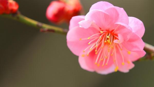 японский абрикос